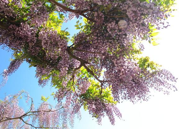 Photos: 藤公園_13-05-05_066
