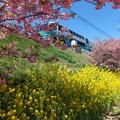 河津桜と菜の花と電車