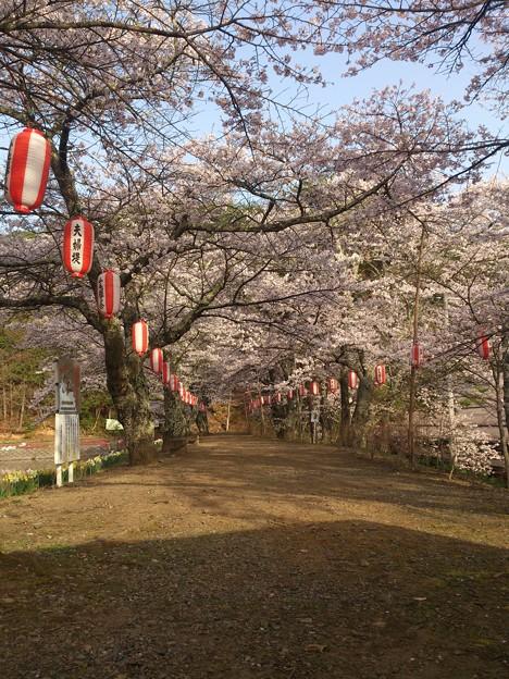 家の近くの公園桜