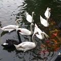 白鳥と鯉(恋)