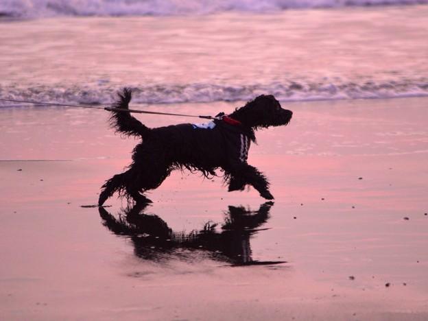 お散歩ワンコ@湘南・鵠沼海岸 #湘南 #藤沢 #海 #波 surfing #wave #mysky #夕焼け #犬