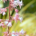 ヒューケラの花 カラーリーフの絵の具の中で (2)