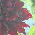 黒蝶という名のダリア。。。