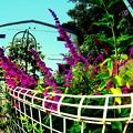 メキシカンブッシュセージが咲く庭.........