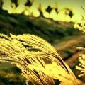 Japanese grass.............