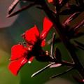 Leptospermum scoparium..........