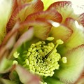 Hellebores double.......