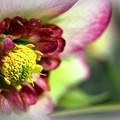 Helleborus hybridus.........