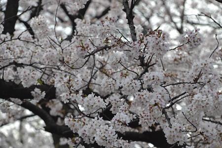 今年の桜@上野公園 [3/28]