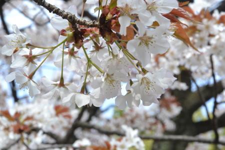 かるく葉桜?@上野公園/上野東照宮 [3/28]