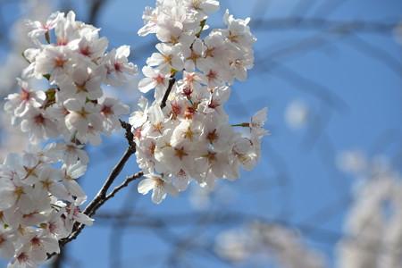 空を背景に。@上野公園 [3/28]
