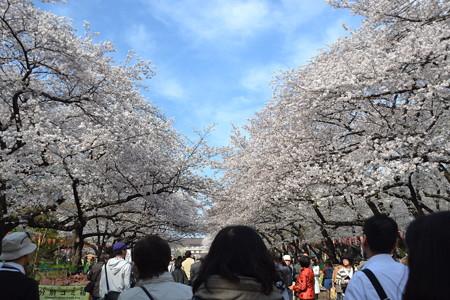 桜と青空@上野公園 [3/28]