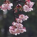 雨上がり寒桜789sc