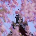 枝垂れ桜と鬼瓦653c