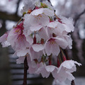 Photos: 花冷え