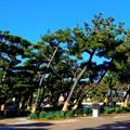 松の造形美。