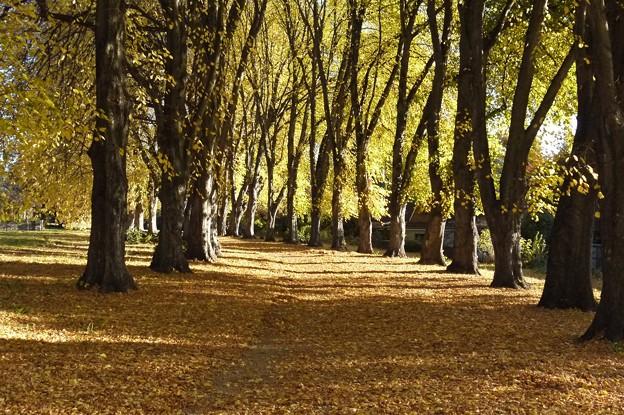 写真: 並木の黄葉