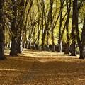 並木の黄葉