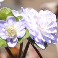 Photos: 雪割草 八重咲き