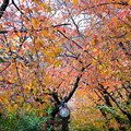 桜の綺麗な紅葉12
