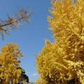 散歩道、黄色に染まった銀杏
