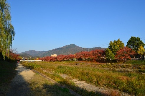 写真: 染井吉野の紅葉 1