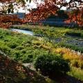 写真: 染井吉野の紅葉 5