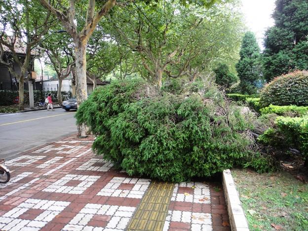 上海台風一過、倒された植木と掃除済みの歩道
