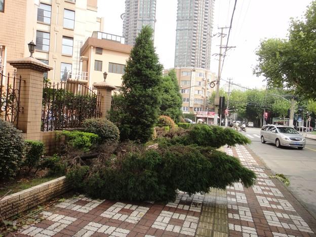 上海台風一過、倒された植木達