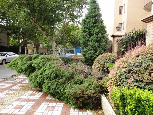 上海台風一過、倒された植木達で