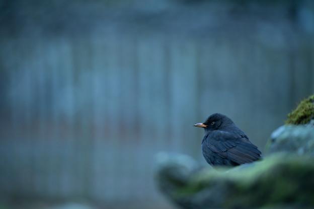 Day 4: A blackbird in Grasmere - グラスミアのクロウタドリ