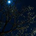 Photos: 月夜の梅