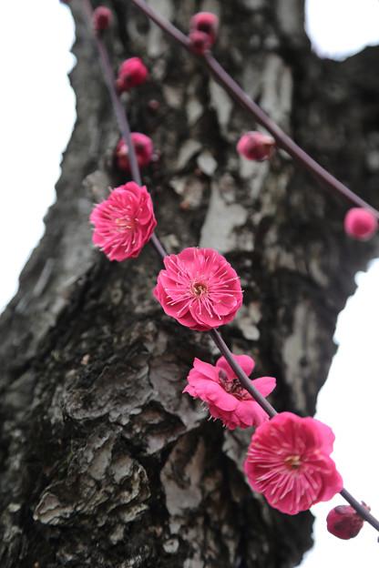 Photos: 鹿児島紅1
