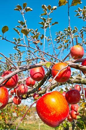 リンゴもタワワ