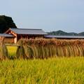 Photos: 奈良時代の収穫