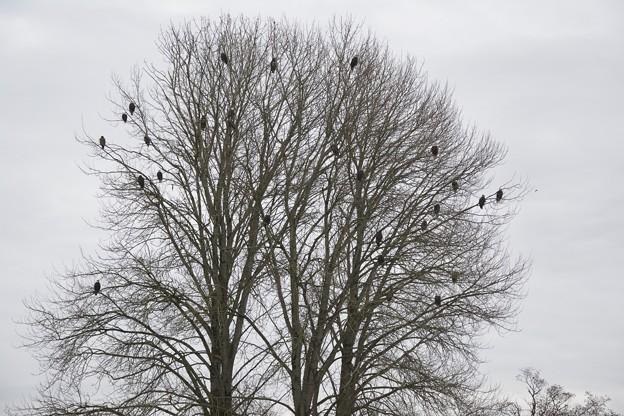 鷲のなる木