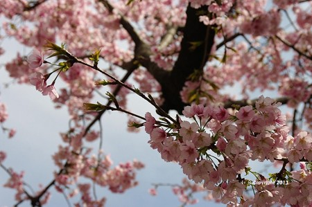 2013桜6172