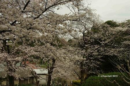 山手桜とチューリップ6261
