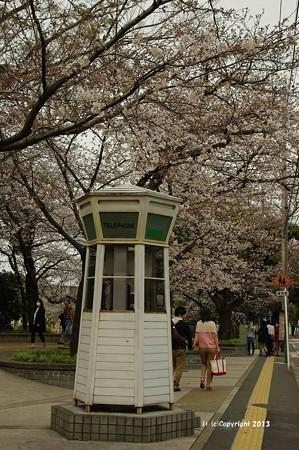 山手桜とチューリップ6265