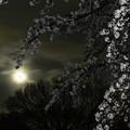 写真: 満開桜と満月