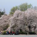 満開ー桜の元で