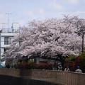 満開ー近所の桜