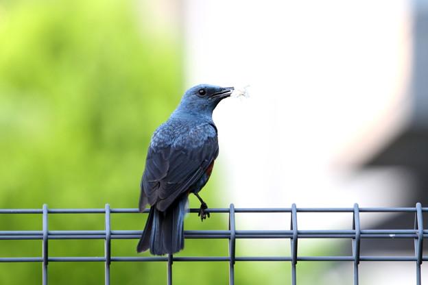 イソヒヨドリ♂親鳥IMG_7568