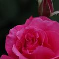 Photos: バラ満開
