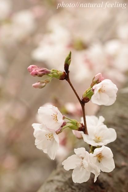 優しい春が来たよ^^3まだ咲き始め~