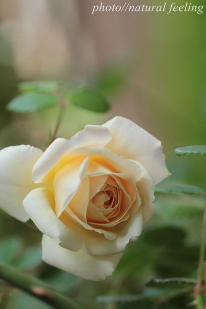 クロッカスローズが咲き始めたよ^^1