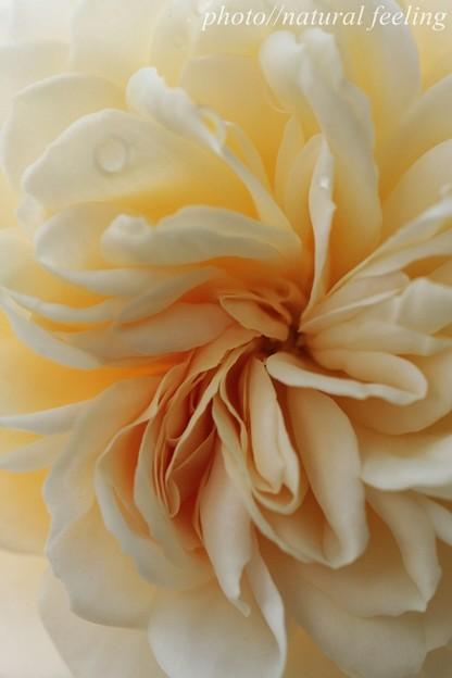 クロッカスローズが咲き始めたよ^^4