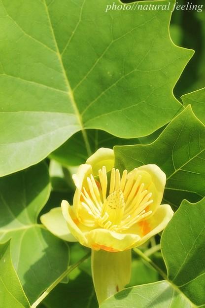 ユリノキ緑の中で黄緑色の花が咲く2