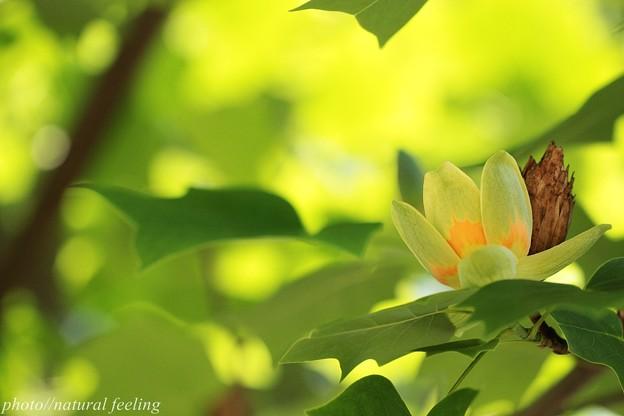 ユリノキ緑の中で黄緑色の花が咲く3