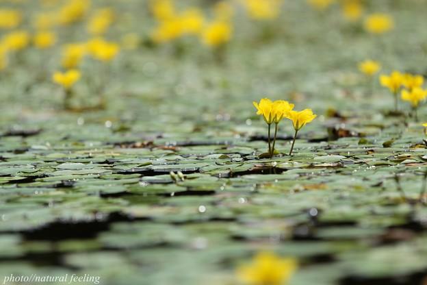 アサザ環境省のレッドデータブックでは準絶滅危惧